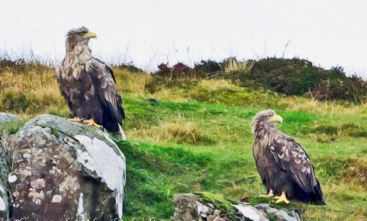 whited tailed eagle