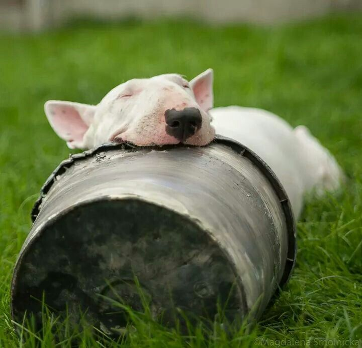Windows Fall Wallpaper Bull Terriers Most Fantastic And Awkward Sleeping Positions