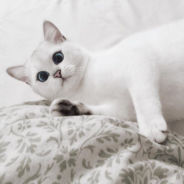 Cute White Kittens With Blue Eyes Wallpaper Look Into My Eyes Meet Coby The Silky White Cat With The