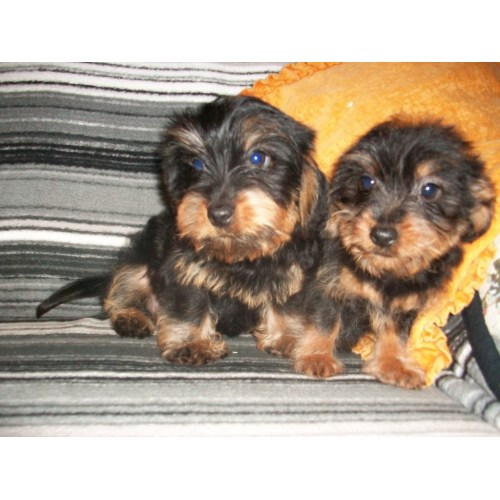 Medium Crop Of Dachshund Yorkie Mix