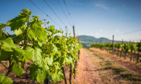 vineyard-waiting-for-the-first-grapes-picjumbo-com-500x300
