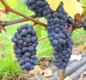 Dijon Pinot Noir Clones