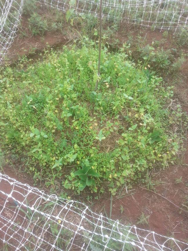 Cover crop and comfrey