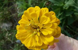 The first Zinnia to bloom in my garden!