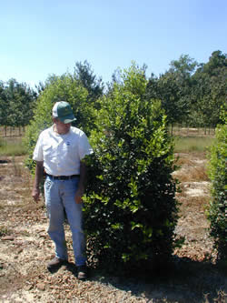 American Holly Image