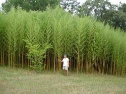 Yellow Groove Bamboo Image