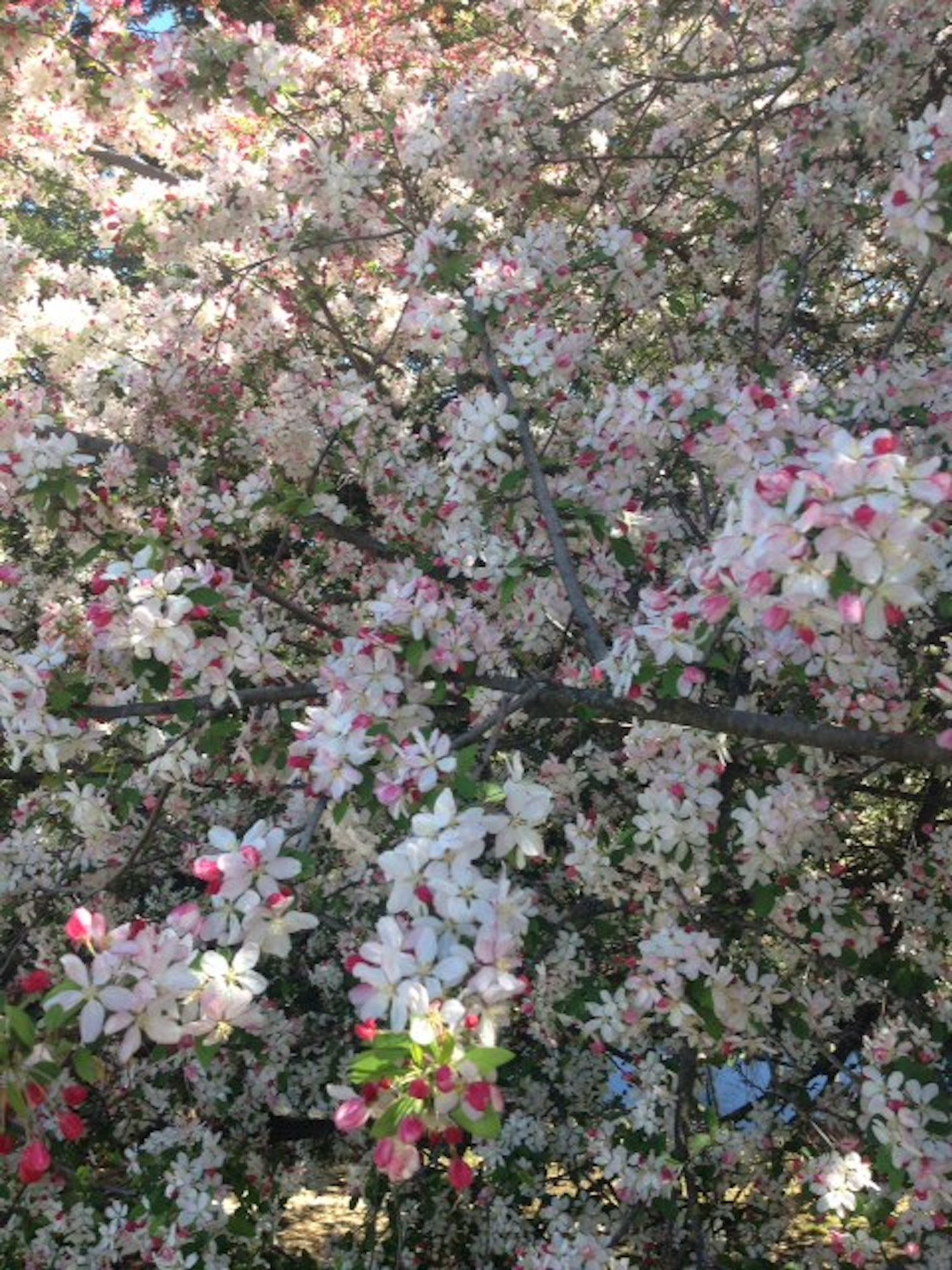 Flowering Crab Apple Image
