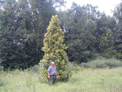 Heirloom Southern Magnolia Image