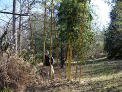 """Robert Young"" Giant Bamboo Image"