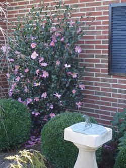 Sansanqua Camellia Image