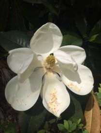 Southern-Magnolia-Blossom