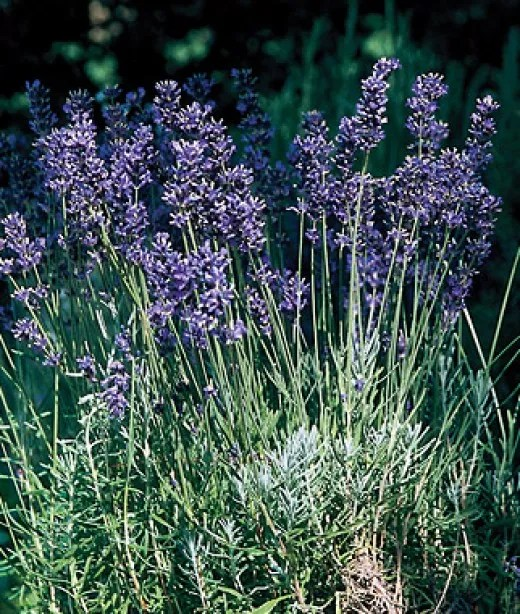 How To Grow Lavender For Its Heavenly Scent - Home Garden Companion