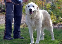Image For Golden Retriever Rescue Dedicated To The Care And