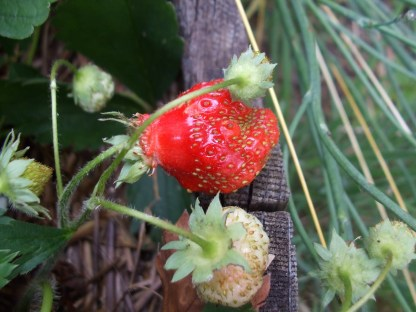 Malformed strawberries. Photo by loveapplesblob.