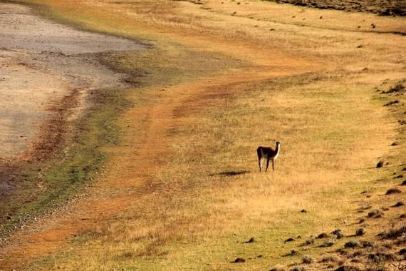Vicuña in Patagonia