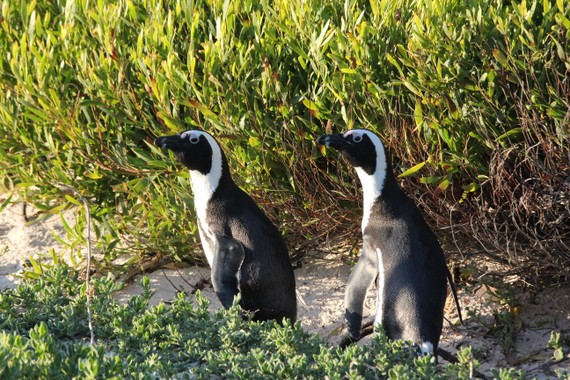 Penguins at Boulders Beach South Africa