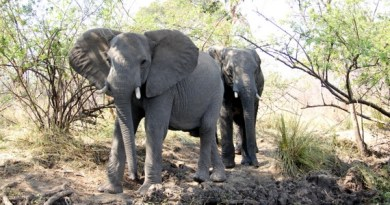 Elephant Encounter on the Zambezi River [VIDEO]