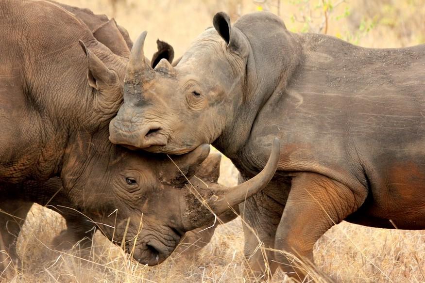 rhinos sparing