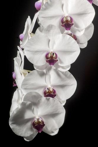 Phalaenopsis Momilani Girl 'Lynne' AM HOS (83.2 pts.)