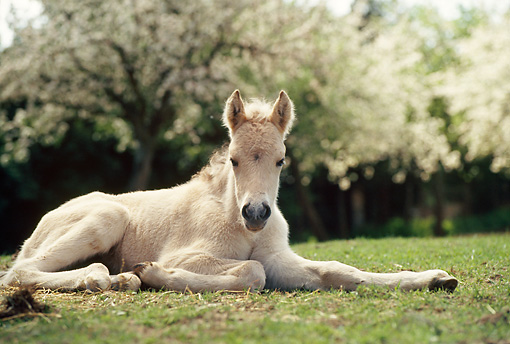Cute Baby Feet Wallpaper Fjord Horse Info Origin History Pictures Horse Breeds