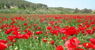 Poppy_field_near_Beit_Guvrin
