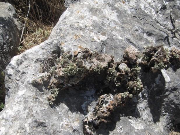 חזזית צומחת על גבישים קשים בסלע רך