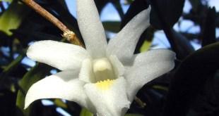 Dendrobium_crumenatum