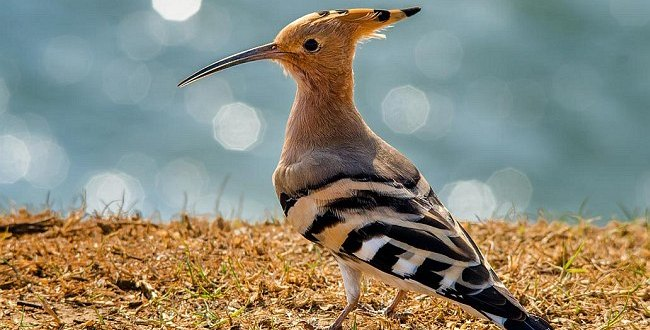 common_hoopoe  דוחיפת - Abhishek Das