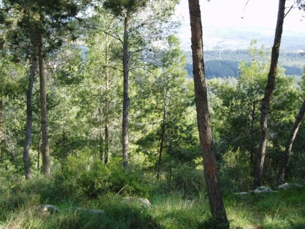 יער של אורן ירושלמי אשתאול