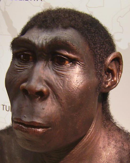 Homo erectus reconstruction by W. Schnaubelt & N. Kieser (Atelier WILD LIFE ART) Homo_erectus.JPG: photographed by User:Lillyundfreya