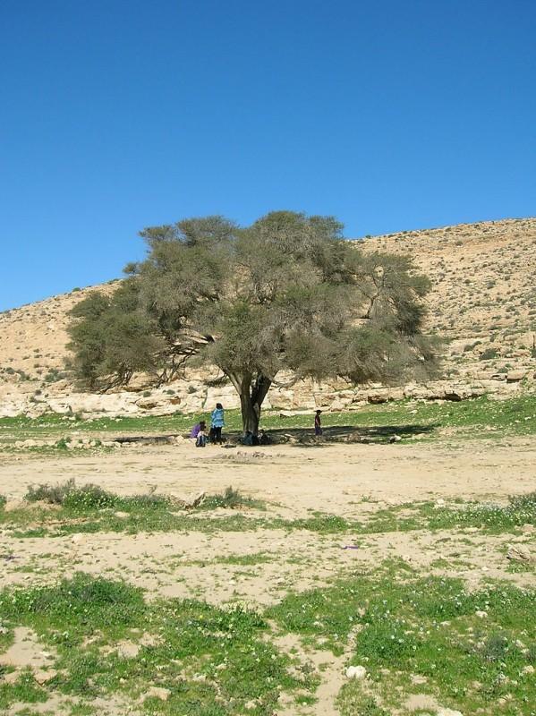 עץ שיטת הנגב בנחל צילום: יוצר Tambah