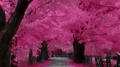 Sakura Falling Live Wallpaper Japan S Cherry Blossom For Backapckers Magazine