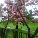 西桔梗にある公園内の八重桜