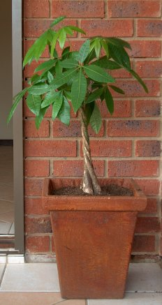 Pachira Aquatica - The Money Tree Plant
