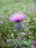 Gall-Bladder-Milk-Thistle.jpg
