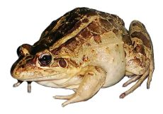 Getting rid of frogs by kicking them out of their home