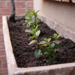 3 baby mint bushes