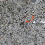 Ant poison that ants LOVE to eat