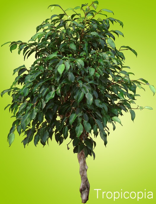 How To Grow A Ficus Tree - Plant Care   Houseplant 411 - How To
