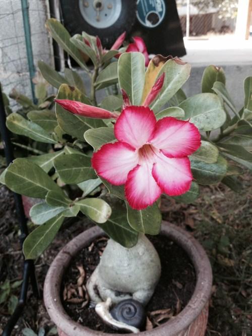 Medium Of Desert Rose Care