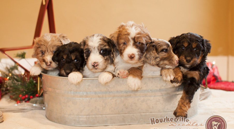 Miranda's Mini Aussiedoodles (all now in their new homes)