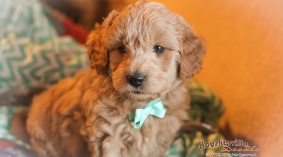 F1b Goldendoodles out of Delta