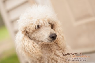 Garth, one of our purebred Mini Poodles, is the sire to this litter.