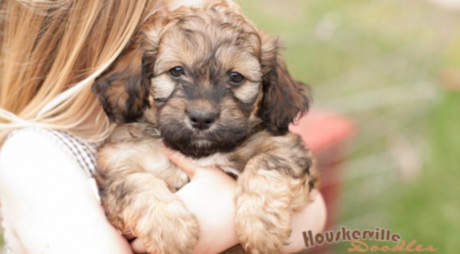 3-Way Teddybear Puppies out of Juliette