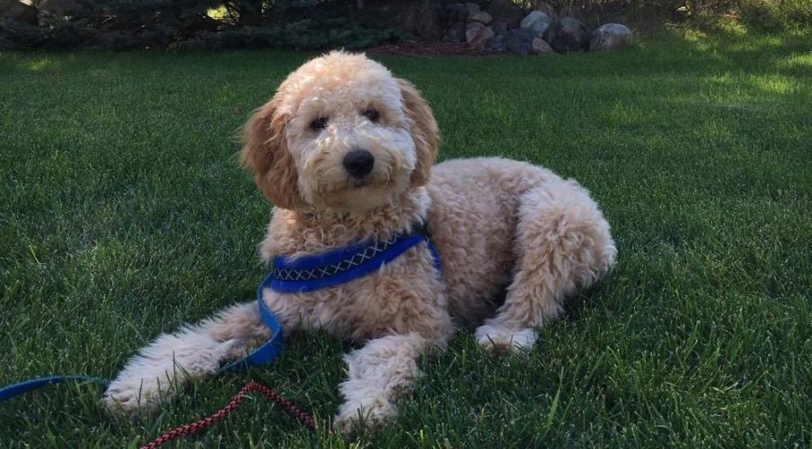 F1b Goldendoodle out of Delta