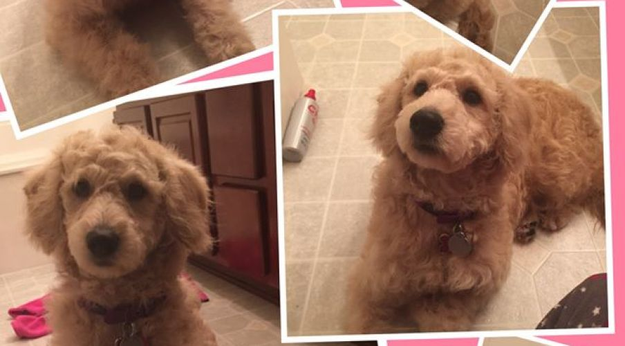 F1b Goldendoodle out of Dolly