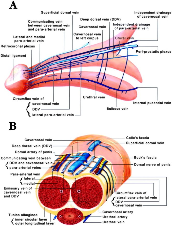 penis structure picture