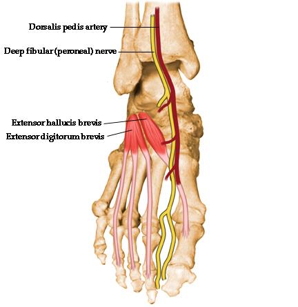 Extensor Hallucis Brevis Origin, Insertion, Action  Nerve Supply