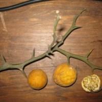Poncirus trifoliata (naranja silvestre)
