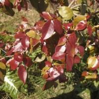 Probando el primer ñangapirí o pitanga (eugenia uniflora)